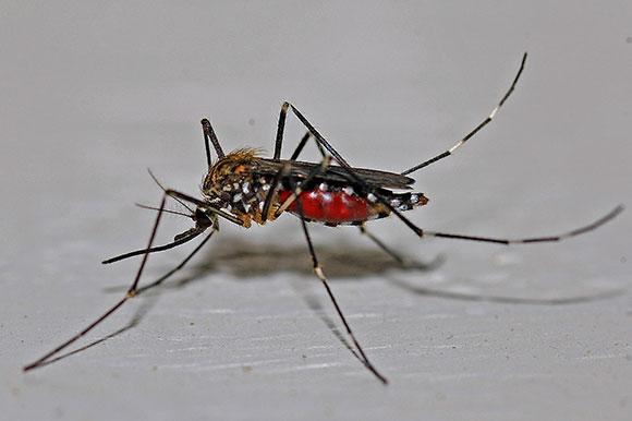 Zika Musquito